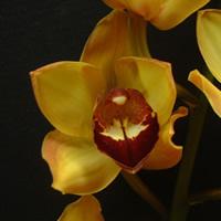 Cymbidium Apricot Velvet