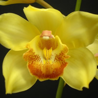 Cymbidium Arcadian Sunrise