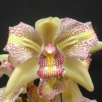 Cymbidium Bi-color