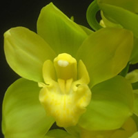 Cymbidium Cool Paulin