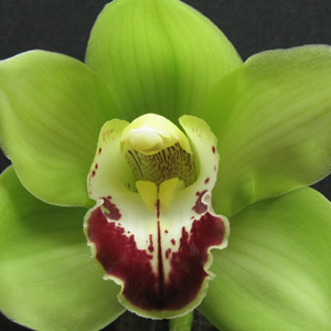 Cymbidium Festive Cheer