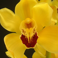 Cymbidium Gymer Cooksbridge