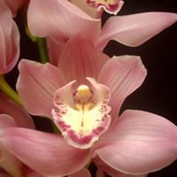 Cymbidium Hyzenthley
