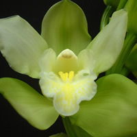 Cymbidium Ice Green