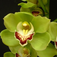 Cymbidium Ovation Emerald