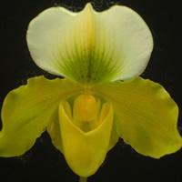 Cymbidium Paphiopedilum Hybrid