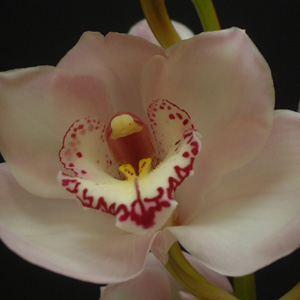 Cymbidium Powder Puff