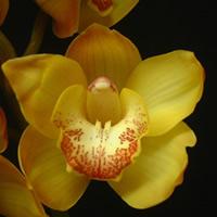 Cymbidium Waikanae Gold
