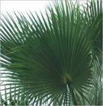 Palm preserved washingtonia