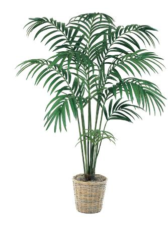 Paradise Palm 8 inch