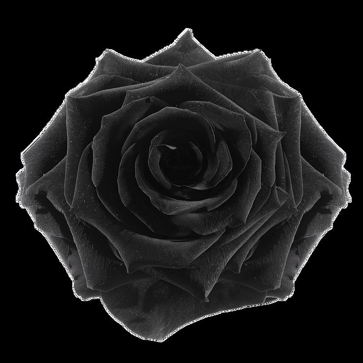 preserved rose: black-night