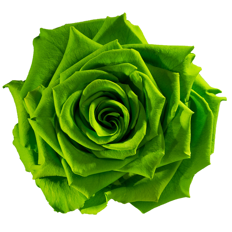 Preserved Rose Fresh Green