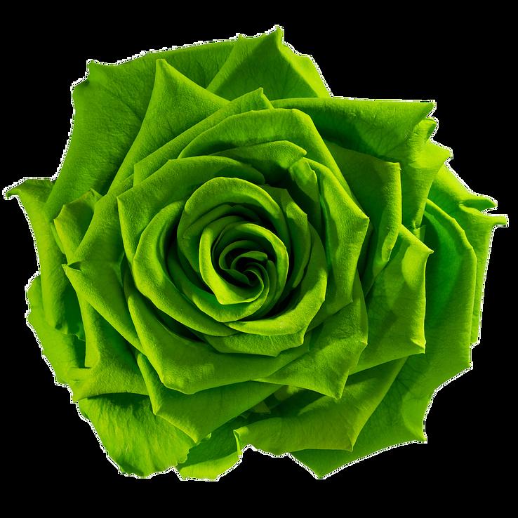 preserved-rose-green-fresh