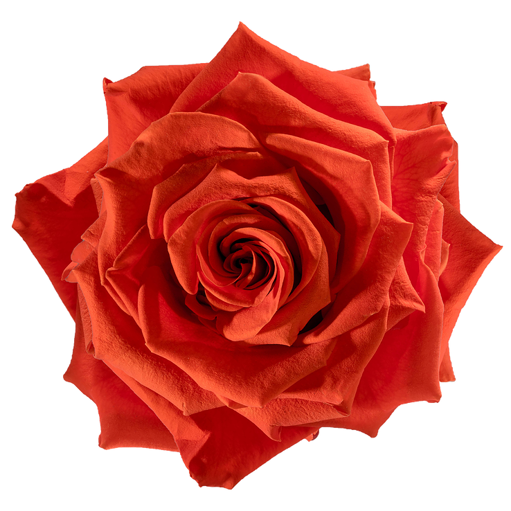 Preserved Rose Orange Fire