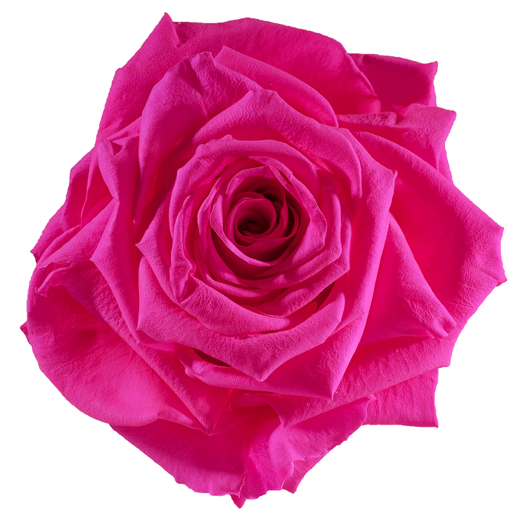Preserved Rose Hot Pink