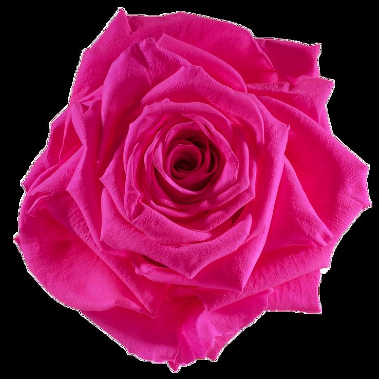 Preserved Rose Hot Pink