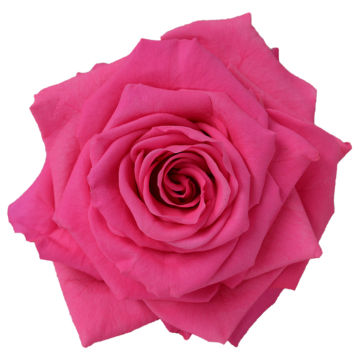 Preserved Rose Medium Pink