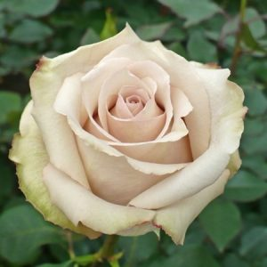 light pink color rose
