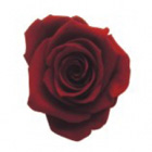 burgundy preserved rose