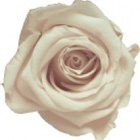 Preserved flower: Champagne Rose