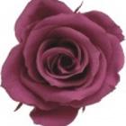 Cranberry Preserved Rose