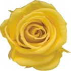 Golden Yellow Preserved Rose