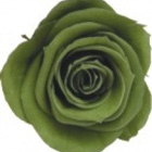 green tea preserved rose