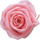 light pink preserved rose