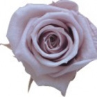lilac preserved rose