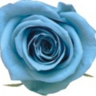 sky blue preserved rose