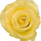 Preserved Sulphur Yellow Rose