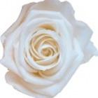 White preserved rose