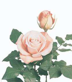 Rose Vanity