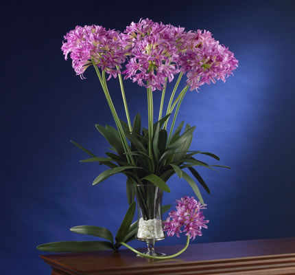 African Lily pink