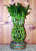 Pineapple shaped lucky bamboo