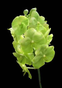 orchids species Vanda Green