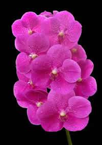 orchids species Vanda Pink