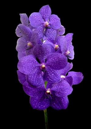orchids species Vanda Blue