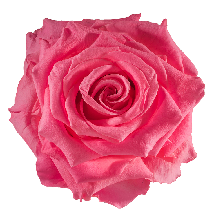 preserved-rose-baby-pink