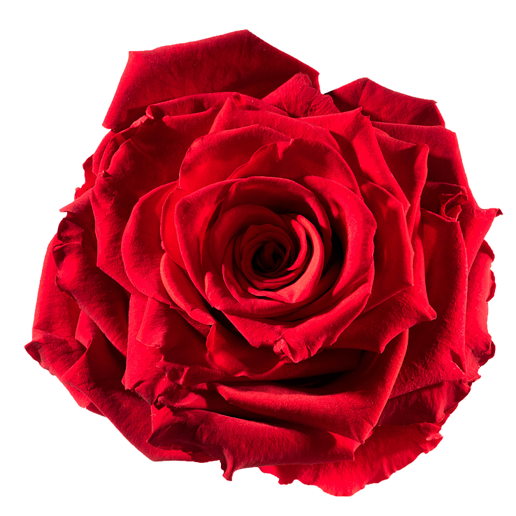 Preserved rose: red-passion