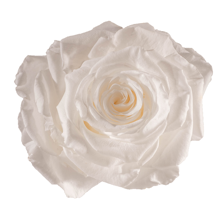 Preserved Rose Pure White