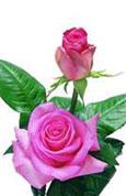 Rose attache